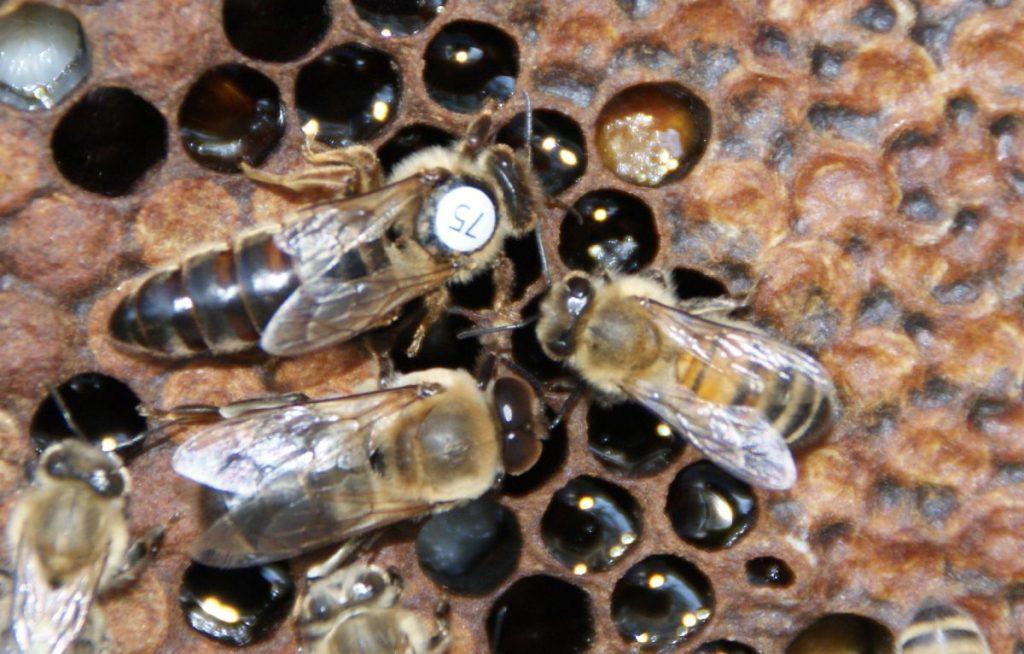 reine-faux-bourdon-ouvrière-abeille