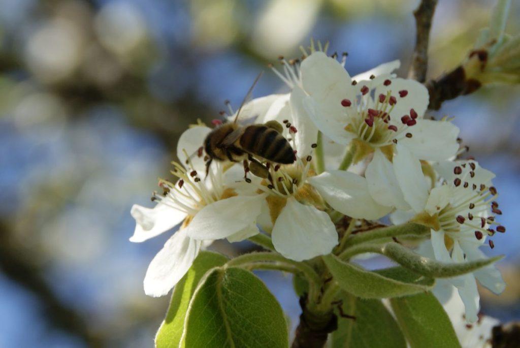 Abeille sur fleur de cerisier récoltant des pelotes de pollen